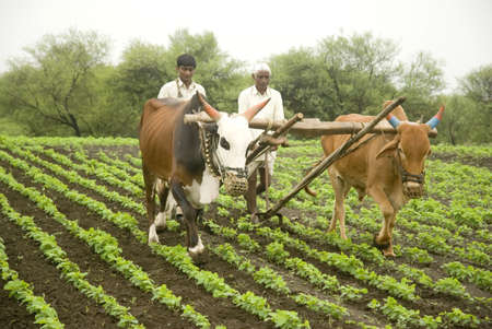 Farmers removing weeds from Soy soybean field using plough with bullocks in Salunkwadi,Ambajogai,Maharashtra,India