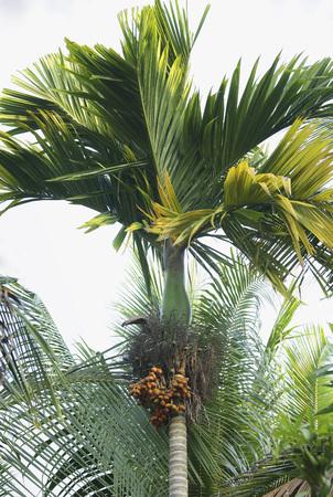 Bunch of betel nut areca catechu on betel palm,Thekkady in Idukki,Kerala,India