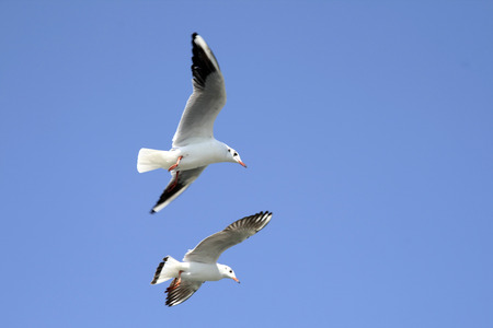 Birds,keen competition black headed gull larus ridibundus,Okha,Gujarat,India