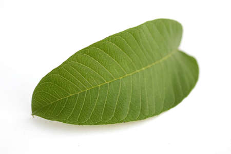 One guava green leaf micro detail nerves on white background Stock Photo