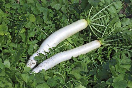 Green vegetable white radish raphanus sativus growing in field