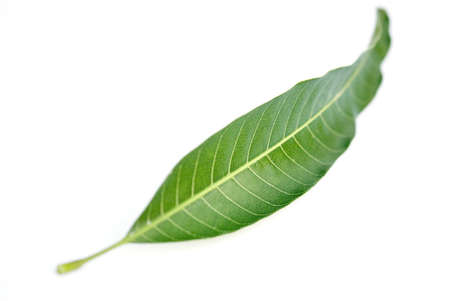 One mango green leaf micro detail nerves on white background