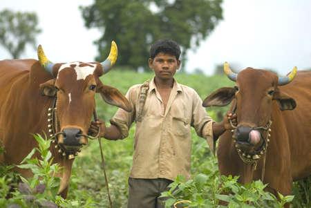 Fourteen year old farmer boy hold nose bridle of two bullocks,village Vaitagvadi,Parbhani,Marathwada,Maharashtra,India Stock Photo
