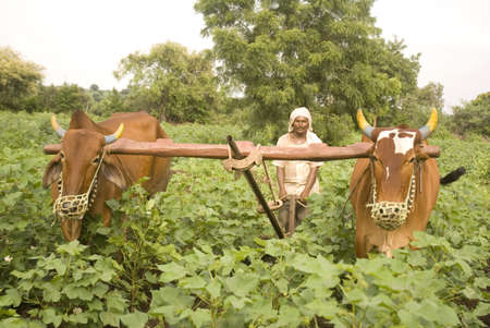 Farmer removing weeds and grass with help of kolpe and two bull in cotton field,village Vaitagvadi,Parbhani,Marathwada,Maharashtra,India
