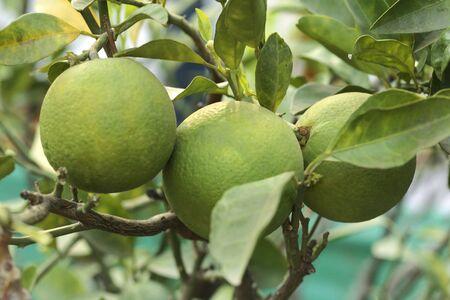 Fruits,three green sweet orange mausambi citrus sinensis with leaves hanging on branch