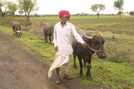 dhoti: Cowman with stick in hand to pasture buffalo in pasture land in Salunkwadi,Ambajogai,Maharashtra,India