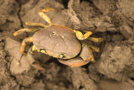 One sweet water crab in Salunkwadi,Ambajogai,Maharashtra,India Stock Photo