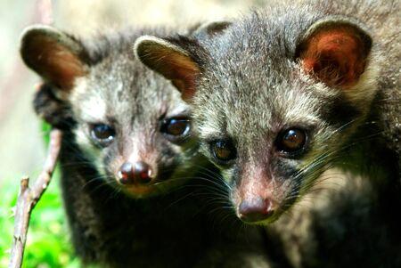 Juvenile common palm civet or toddy cat paradoxurus hermaphroditus kitten,Calcutta Kolkata,West Bengal,India Stock Photo
