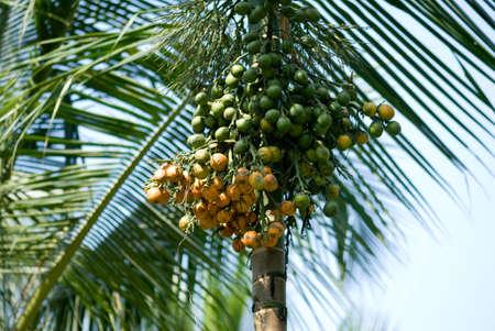 Betelnuts on tree,Gadag,Karnataka,India Stock Photo