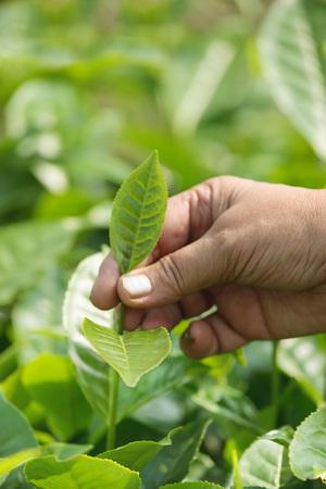 女性摘採茶葉、アッサム、インド 写真素材