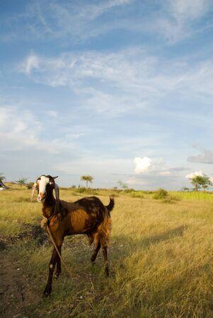 ヤギ、ラージャス ターン州、インドのある風景します。