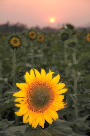Field of sunflower,Pune and Satara,Maharashtra,India Foto de archivo