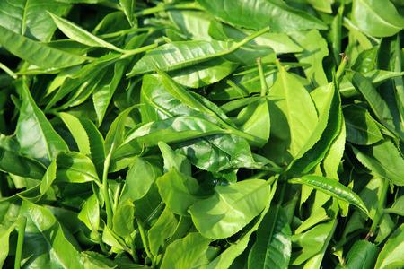 Tea leaves Assam,Northeast,India