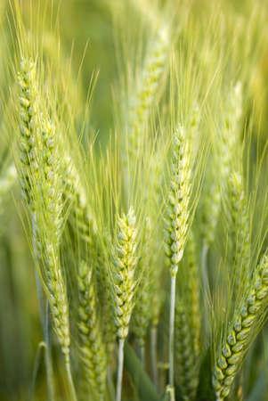 Green spike of wheat crop in field,Salunkwadi,Ambajogai,Beed,Maharashtra,India