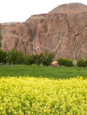 Mustard Fields,Alchi,Ladakh,Jammu and Kashmir,India Stock Photo