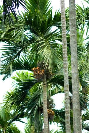 Betel nut trees,Gadag,Karnataka,India Stock Photo