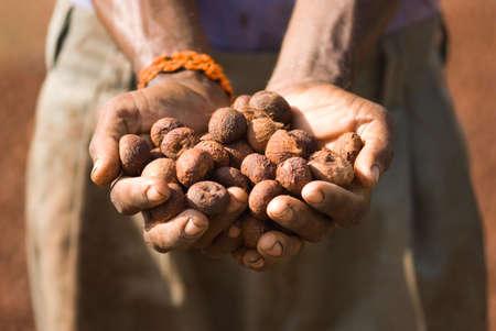 Hand holding dry betel nuts,Gadag,Karnataka,India Stock Photo