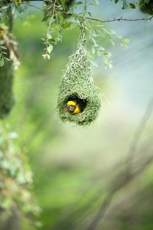 Baya weaver 巣インド鳥野生生命インド
