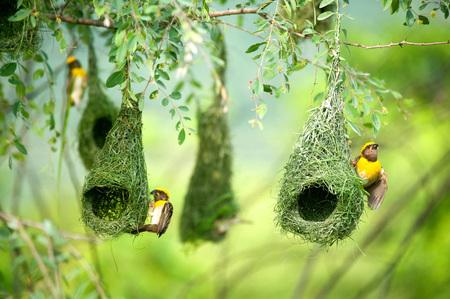 バヤウィーバーネストインディアン鳥ワイルドライフインド