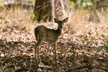 バンダヴガル国立公園マディヤ ・ プラデーシュ州インドで鹿を発見 写真素材