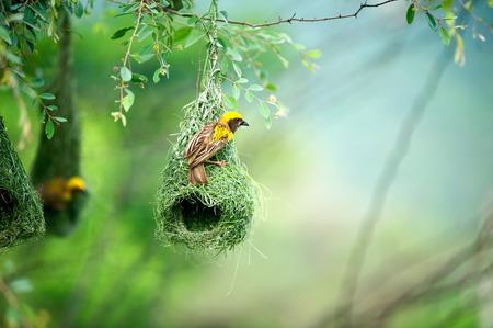 바이 야 위 버 둥지 인도 조류 야생 생활 인도 스톡 콘텐츠