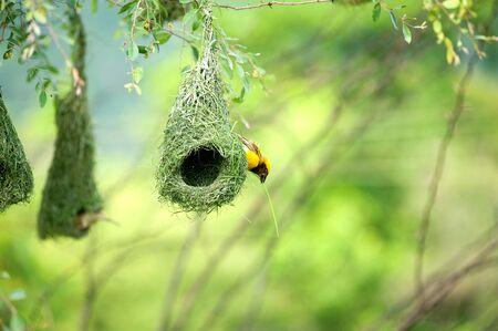 Baya weaver nest indian birds wild life india Stock Photo