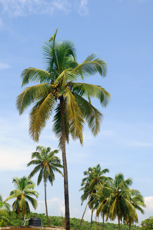 Coconut trees Baga Beach Goa Maharashtra India Asia September 2010 Stock Photo