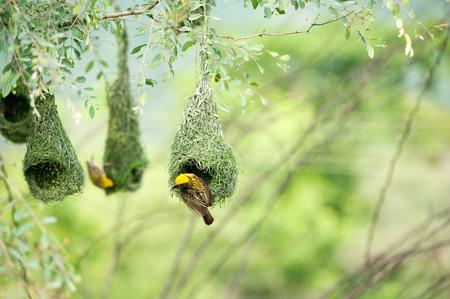 バヤウィーバーネストインディアン鳥ワイルドライフインド 写真素材