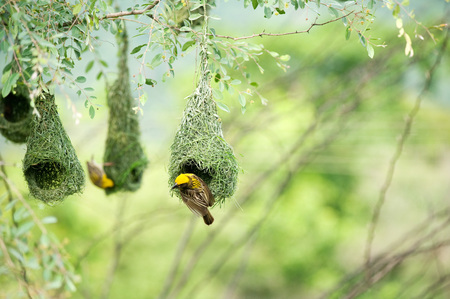 Baya weaver nest indian birds wild life india 版權商用圖片
