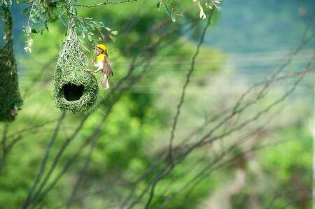 Baya weaver nest indian birds wild life india Stok Fotoğraf