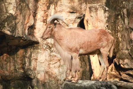 asian mountain goats photo