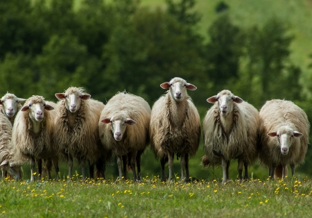 A flock of sheep grazes on a green field somewhere in Tuscany, Italy  Stock Photo