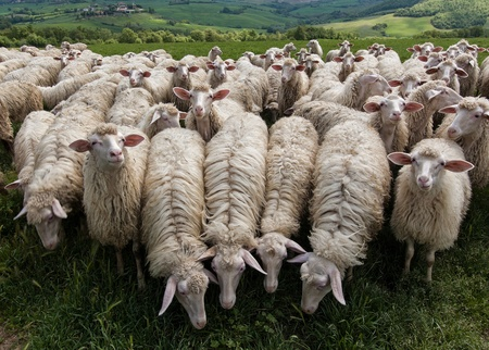 A flock of sheep grazes on a green field somewhere in Tuscany, Italy.