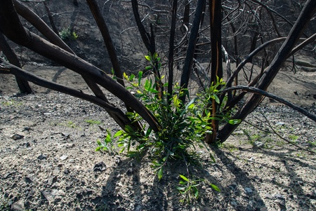 New sprouts among the burnt trees, one year after a forest fire in Cyprus photo