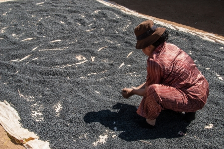 Lat (Chicken) village, Vietnam - January 6, 2008: A woman works in coffee bean drying