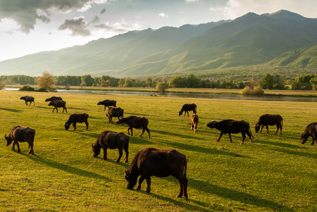 lake: Buffaloes at sunset near Kerkini Lake in Greece Stock Photo