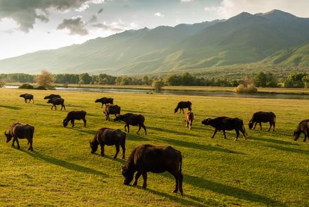 Buffaloes at sunset near Kerkini Lake in Greece Stock Photo