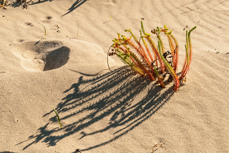 laconia: Plant growing in the sand of Simos beach in Elafonisos island, Greece Stock Photo