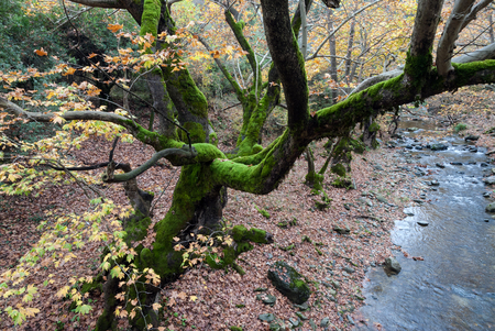 olympus: Moss covered tree near stream in autumn on Mount Olympus, Greece