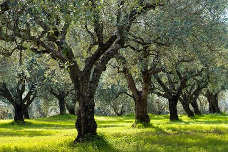 Gebied van olijfbomen in de Peloponnesos, Griekenland Stockfoto