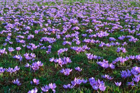 Field of flowering purple blossom crocuses in the area of Kozani in northwestern Greece Фото со стока