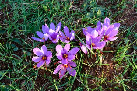 Close up of a group of purple blossom crocuses in the area of Kozani in northwestern Greece