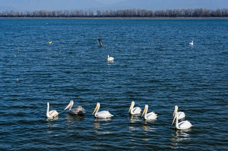 Dalmatian Pelicans in the Lake Kerkini, Greece Banco de Imagens - 138181644