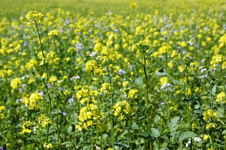 oilseed: Oilseed plants filed