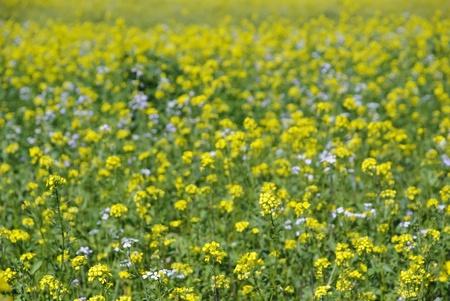 oilseed: Oilseed plants field