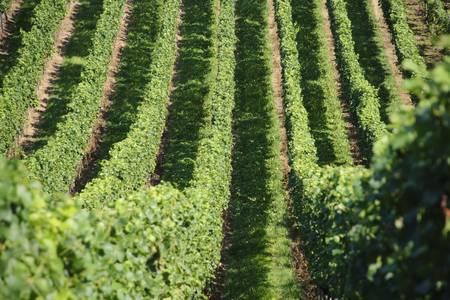 symetry: Green Wine Yards Stock Photo