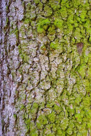 Spruce bark with moss Stock Photo - 12936964