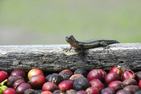 Lizard and fresh coffe grains photo
