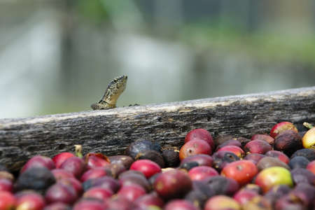 agriculture azores: Lizard and fresh coffe grains Stock Photo
