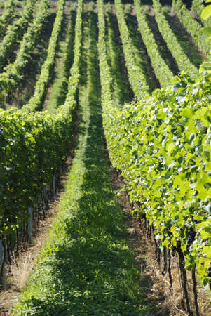 Green Vineyards photo